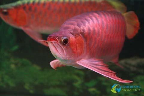 Huyết Long và Kim Long cao cấp (Quá bối và Kim Long đầu vàng) là mơ ước của những người chơi cá rồng.
