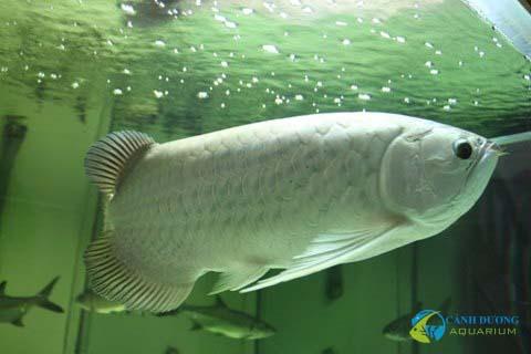 Cá Platium độc của anh Chính Ngọc