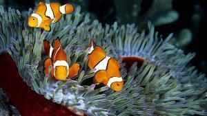 Cá cảnh biển Nemo